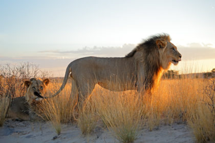 ©Big male African lions (Panthera leo) in early morning light, Kalahari desert, South Africa